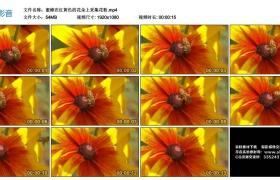 高清实拍视频丨蜜蜂在红黄色的花朵上采集花粉