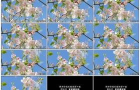 4K实拍视频素材丨向上摇摄蓝天背景前苹果树枝上开着的苹果花