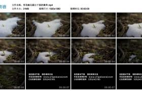 高清实拍视频丨雪花融化露出下面的嫩草