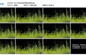 高清实拍视频丨阳光下绿油油的野草随风摇摆