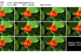 高清实拍视频丨清晨的阳光照射着带露珠的红花