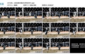 高清实拍视频丨正面拍摄在圈舍吃草料的奶牛