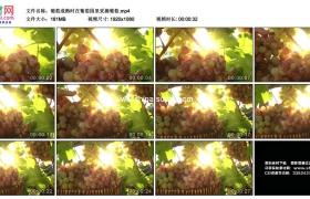 高清实拍视频素材丨葡萄成熟时在葡萄园里采摘葡萄