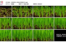高清实拍视频丨小麦麦苗从土里钻出来持续生长