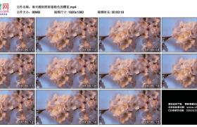 高清实拍视频素材丨春天暖阳照射着粉色的樱花