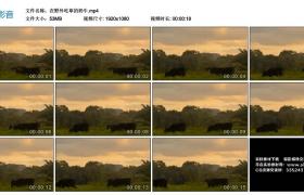 高清实拍视频素材丨在野外吃草的奶牛