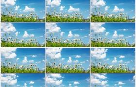 高清实拍视频素材丨蓝天流云下的洋甘菊花随风摇曳