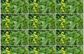 高清实拍视频素材丨雨天挂在树上的青色板栗幼果