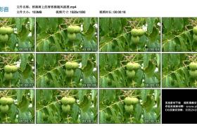 高清实拍视频丨核桃树上的青核桃随风摇摆