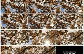 高清实拍视频素材丨摇摄晴天阳光照射下的玉兰花