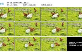 高清实拍视频丨四只母鸡在草地上觅食