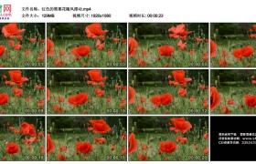 高清实拍视频素材丨红色的罂粟花随风摆动