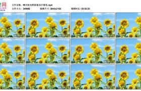 4K视频素材丨晴天阳光照射着向日葵花