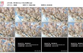 高清实拍视频素材丨晴空蓝天白云下的白色樱花