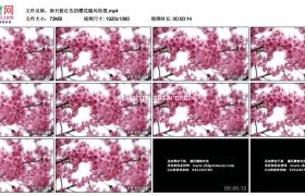 高清实拍视频素材丨春天粉红色的樱花随风轻摆