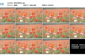 高清实拍视频素材丨漂亮的罂粟花