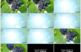 4K实拍视频素材丨阳光照射着葡萄园里紫色的葡萄