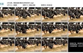 高清实拍视频丨侧面拍摄在圈舍吃草料的奶牛
