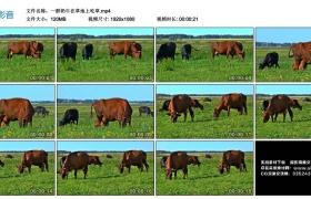 高清实拍视频丨一群奶牛在草地上吃草