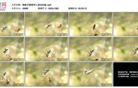 高清实拍视频丨蜘蛛在蜘蛛网上捕食蚱蜢