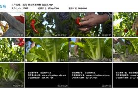 高清实拍视频丨蔬菜-掰玉米 摘辣椒 拨白菜