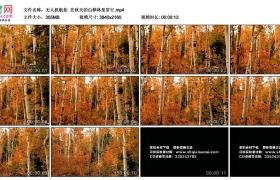 4K实拍视频素材丨无人机航拍  在秋天的白桦林里穿行