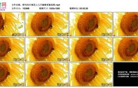 高清实拍视频丨特写向日葵花上几只蜜蜂采集花粉