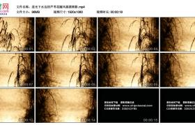 高清实拍视频素材丨逆光下水边的芦苇花随风摇摆剪影