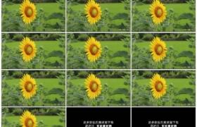 高清实拍视频素材丨稻田边的向日葵花盘上蜜蜂采集花粉