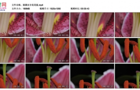 高清实拍视频素材丨摇摄百合花花蕊