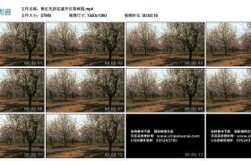 高清实拍视频素材丨粉红色的花盛开在果园