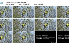 高清实拍视频丨小鸟在春天的树枝上鸣叫