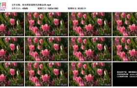 高清实拍视频素材丨阳光照射着粉色的郁金香