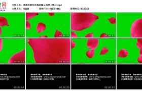 高清动态视频丨浪漫的紫色玫瑰花瓣从绿屏上飘过