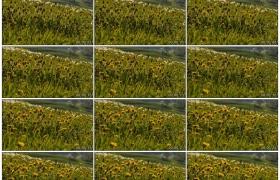4K实拍视频素材丨阳光照射着草甸上蒲公英花盛开延时摄影