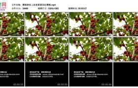 高清实拍视频素材丨樱桃树枝上挂着累累的红樱桃