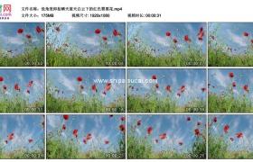 高清实拍视频素材丨低角度仰拍晴天蓝天白云下的红色罂粟花