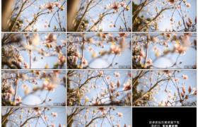 高清实拍视频素材丨双向摇摄阳光照射下的粉色玉兰花