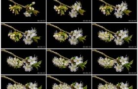 4K实拍视频素材丨黑色背景前树枝上白色的樱花绽放延时摄影