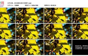 高清实拍视频素材丨逆光透射过秋天的树叶