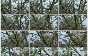 4K实拍视频素材丨苹果树上开满粉色的花朵