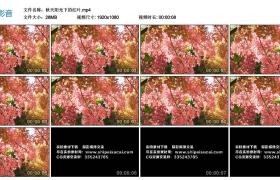 高清实拍视频丨秋天阳光下的红叶