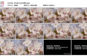 高清实拍视频素材丨特写春天白色的樱花