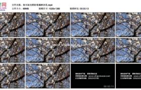 高清实拍视频素材丨春天阳光照射着满树杏花