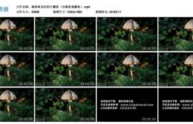 高清实拍视频丨森林树丛间的大蘑菇(目测是毒蘑菇)