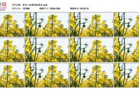 高清实拍视频素材丨阳光下金黄的油菜花