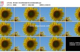 高清实拍视频素材丨晴天蓝天下阳光照射着盛开的太阳花随风摇摆