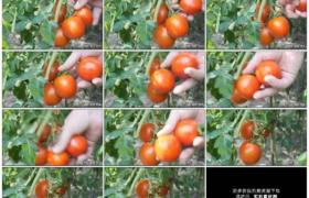 4K实拍视频素材丨特写在菜园里采摘红色的西红柿
