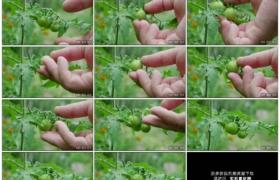 4K实拍视频素材丨特写检查菜园里的青色西红柿