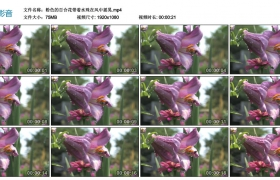 高清实拍视频素材丨紫色的百合花带着水珠在风中摇晃